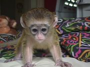 Nina is a cute Capuchin Monkey which need to be adopted
