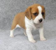 Female Beagle puppy to re-home