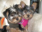 Fine Yorkshire terrier puppies to re-home