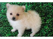 WOW Charming pomeranian puppy for adoption