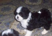 Your Lhasa Apso Puppies For Sale